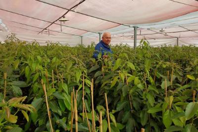 Cairo & Doutcher coltivazione mango e avocado