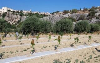Italiafruit: Mango e avocado, 30mila piante innestate nel Sud Italia